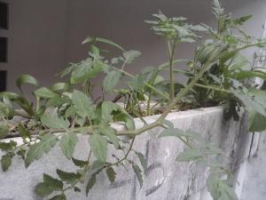 Tanaman tomat tidak diberi ajir (penyangga) saya biarkan tanamannya rebah..