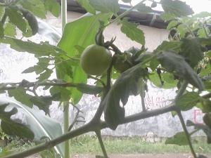 tampak buah tomat mulai tumbuh membesar