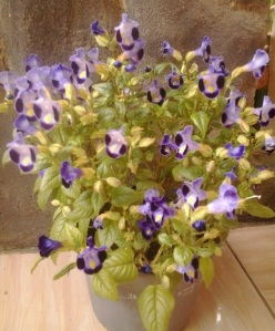 Torenia Blue Wave