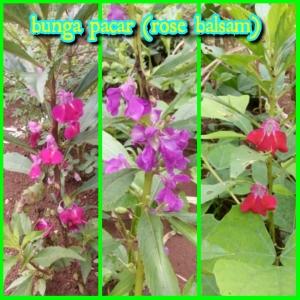 bunga-pacar-rosebalsam