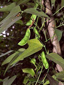 Bisa Disayur Polong Yang masih mudanya maupun bijinya, Foto Wikipedia
