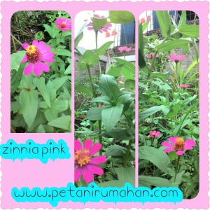 Bunga Zinnia Pink