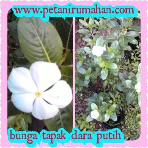 Bunga Tapak Dara Putih