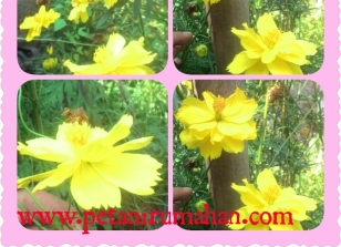 Bunga Kenikir Tumpuk Kuning