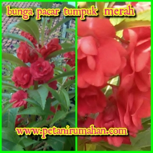 Bunga Pacar Tumpuk Merah