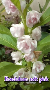 rosebalsam-soft-pink