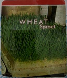 rumput gandum wheat grass