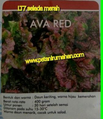 selada-merah-ava-red