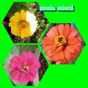 zinnia-mixed
