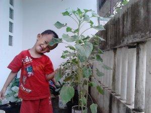Usia 12 minggu (tanaman sudah lebih dari 1 meter tingginya, anak saya saja kalah tingginya )