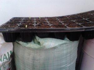 Setelah 4 hari benih sudah mulai tumbuh