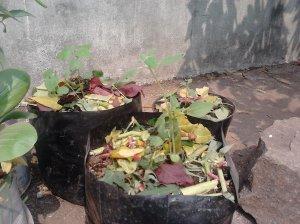 Umur 4 minggu setelah semai, tanaman bunga matahari ditaruh dihalaman terbuka