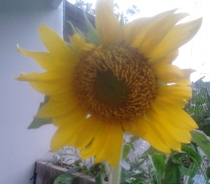 sunflower lokal kuning