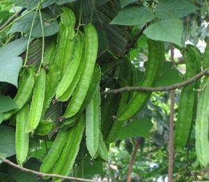 tanaman kecipir