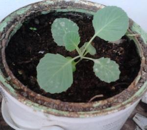 Pemindahan tanaman dari penyemaian ke pot/polibag