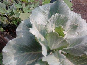Pertumbuhan tanaman kol/Kubis