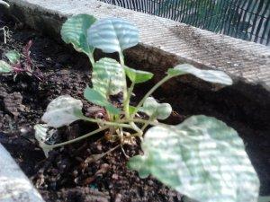 Tanaman Brokoli satu minggu setelah tanam