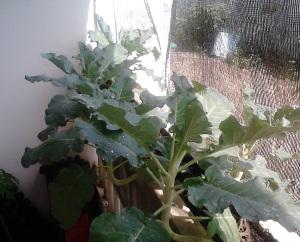 Alhamdulillah tanama brokoli saya sehat-sehat semua,