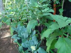 tanaman polybag