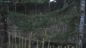 Kalau ini Tanaman Pare Tetangga Menggunakan Ajir berupa rapia yang dibentangkan diantara pohon dan tiang listrik