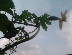 Bunga Betina Tanaman Pare dipangkalnya ada bakal buah pare