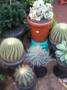 Kaktus gede