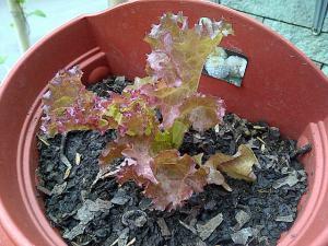 Selada Merah New Red Fire di Pot