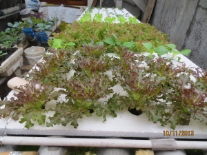 Lettuce Delicato, Pakchoy, selada merah, selada hijau (dari depan - belakang)
