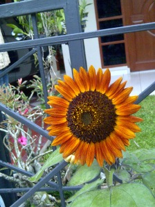 sunflower evening sun