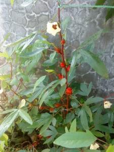 Tanaman dan Bunga Rosella