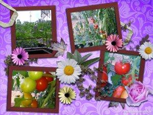 Tomat dan Pertumbuhannya