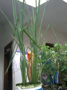 Tanaman padi dengan ember yang masih terlihat lumut -lumutnya