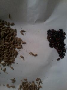 padi dan beras hitam dari 3 malai padi
