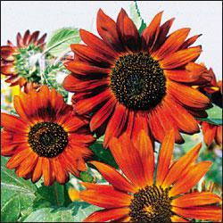 sunflower merah