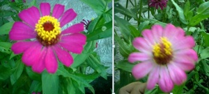 zinnia pink mixed