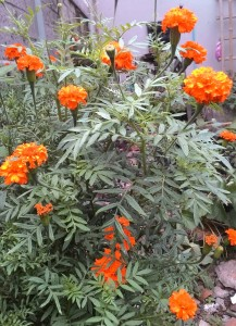 Marigold Orange Lokal