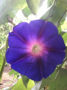 Morning glory biru-ungu