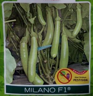 Terong Hijau Hibrida Milano F1