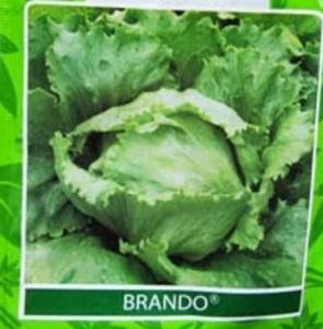 head lettuce brando