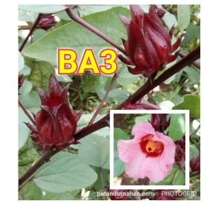 Bunga Rosella Merah