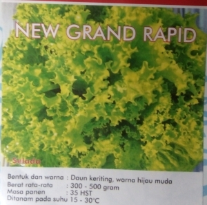 selada hijau new grand rapid