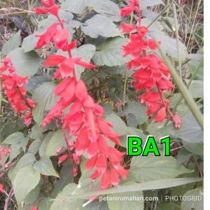 ba1 salvia red