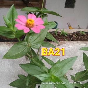 ba21 zinnia pink