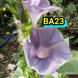 ba23 morning glory gray haze