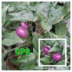 cp8 pretty purple