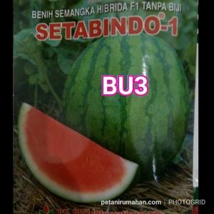 bu3 semangka setabindo