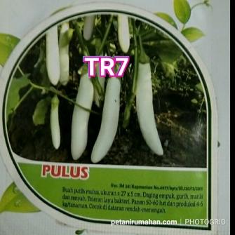 tr7 terong putih pulus