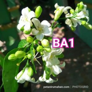 ba1 bunga kemuning