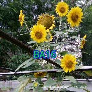 ba16 bunga matahari kuning lokal