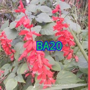 ba20 salvia merah